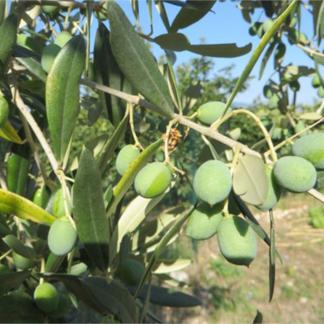 Olive, Olio, Trasformati